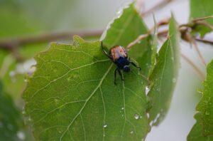 leaf-beetle-pest-seasons-affect
